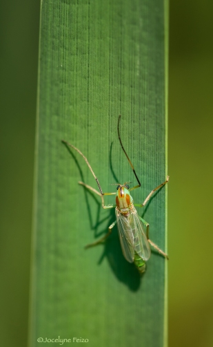 Chironomidae. Tanytarsus sp., femelle