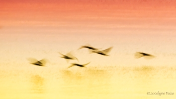 Cormorans à aigrettes