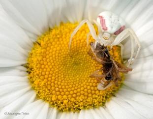 Thomise et sa proie, une araignée saltique