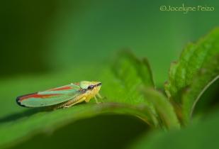 Cicadelle