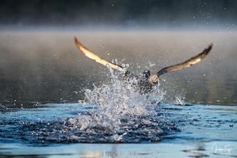 À grands fracas d'ailes et d'eau