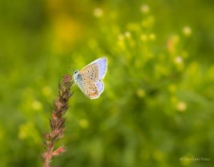 Le petit Bleu