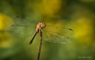 Sympetrum tardif femelle