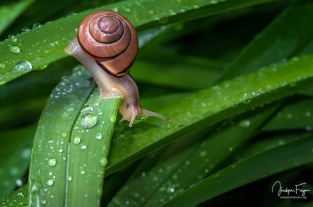 Petit escargot sous la pluie