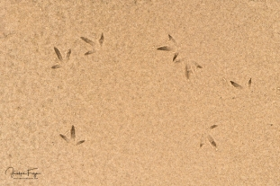Traces de limicoles, plage de la Grande échouerie (Old Harry)