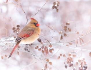 Madame Cardinal