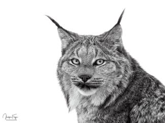 Oeil de Lynx