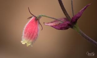 "Seemannia purpurescens ""Purple Prince"""