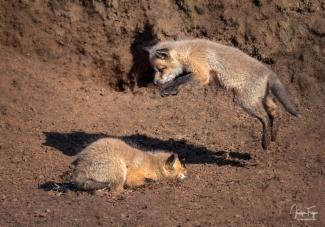 Jouer à saute-renard!