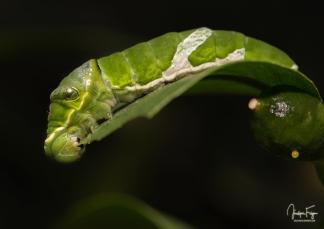 Chenille de Papilio