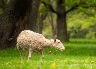 Mouton domestique