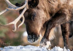 Caribou forestier