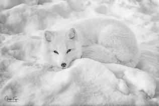 Renard arctique