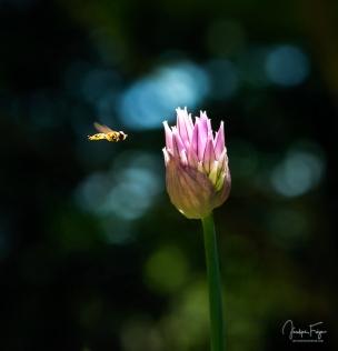 Fleur de ciboulette et son syrphe