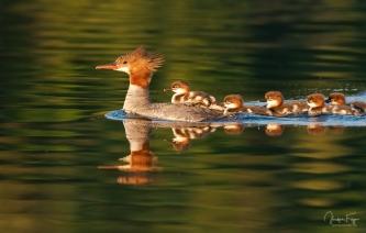 Maman Grand Harle et ses petits