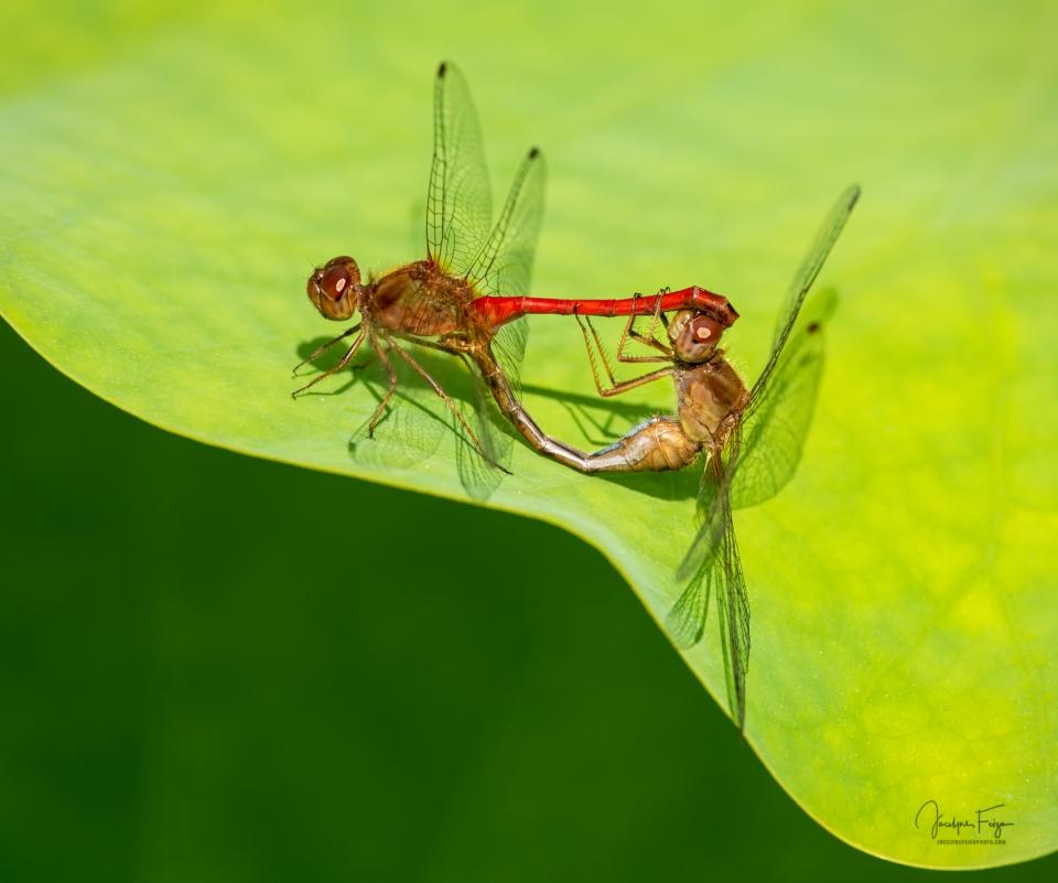 L'amour chez les libellules