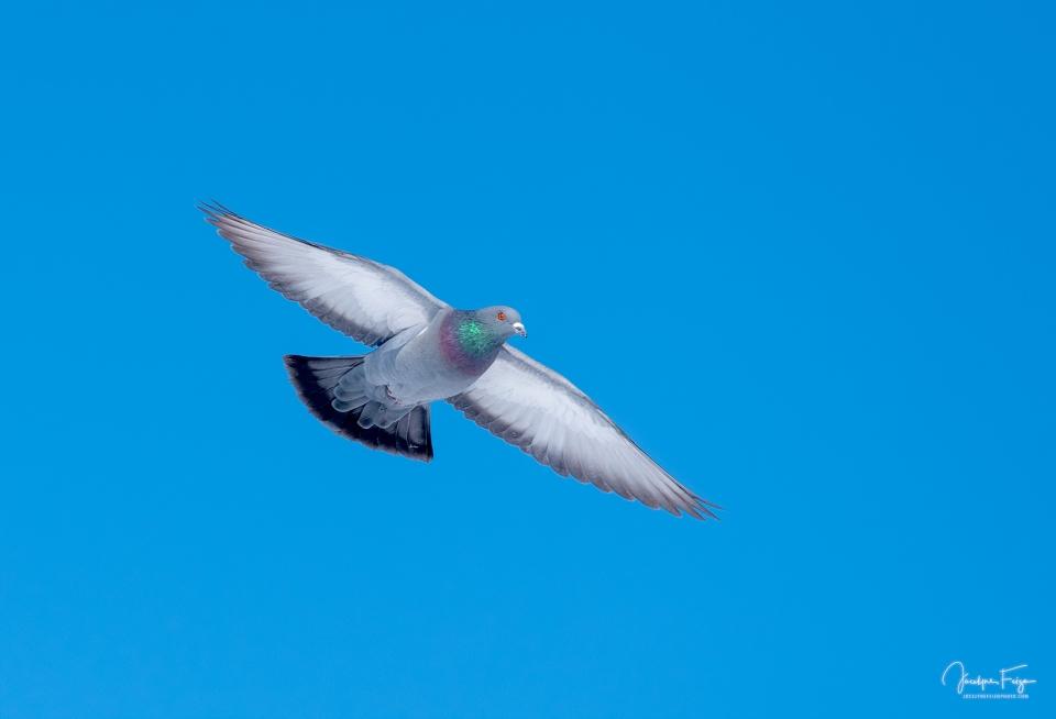 Pigeon domestique