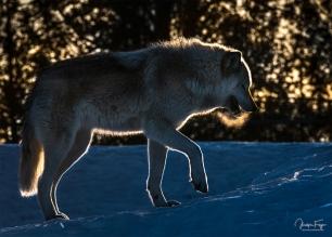Gargamel le loup gris